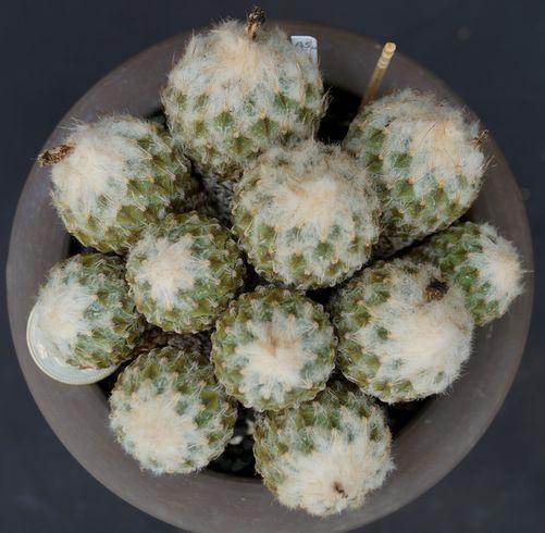 画像1: 銀牡丹・群生標本株