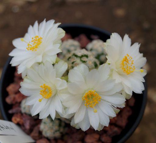 画像1: 白花テレサエ