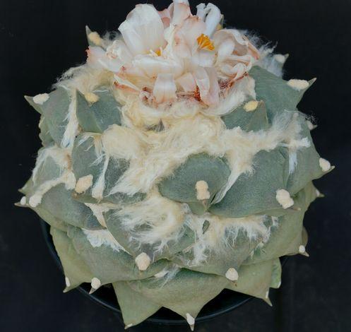 画像1: 花牡丹・実生標本株
