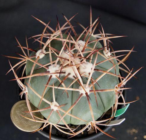 画像1: 太平丸・山木御土産種実生