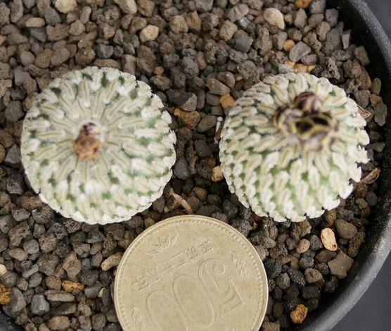 画像1: バラ丸・実生2本植え