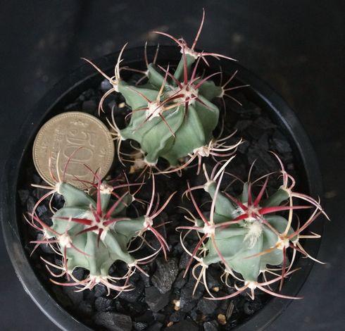 画像1: 赤刺神竜玉・実生3本植え